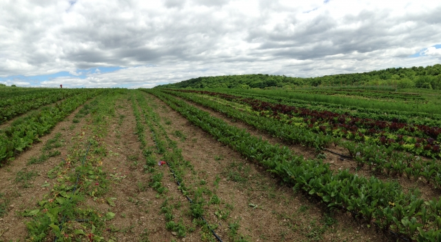 25 acres of vegetables? it's more work than you might think!